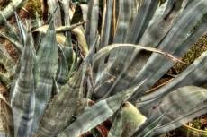agaved