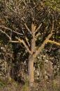 Bisevo pear tree