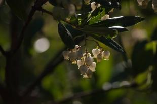 Manjiga flowers