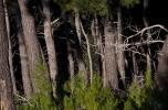 dudu trees