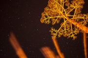 dragon plant star flower