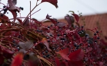 Wild vines