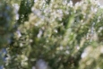 Rosemary roses