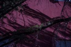 beautiful Cedar